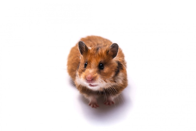Red-haired syrian hamster on a white