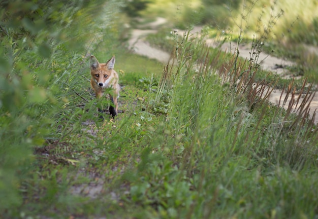 Red-haired young fox goes next to the forest road.