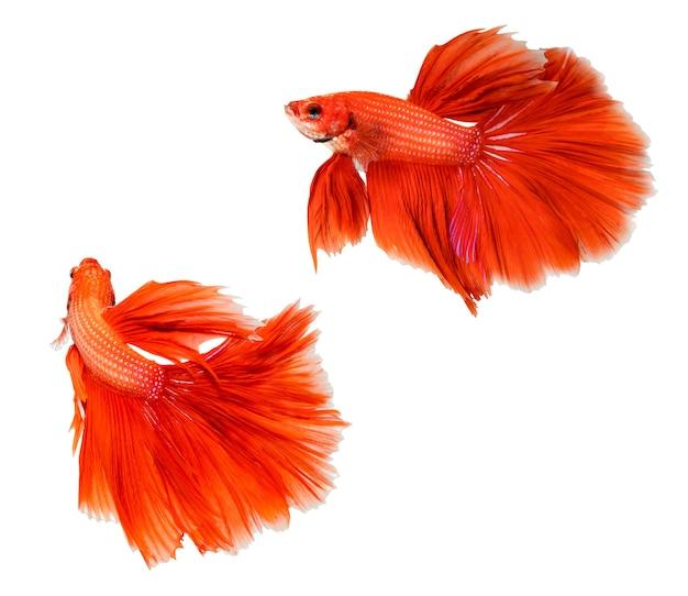 Красный полумесяц betta splendens или сиамские боевые рыбы, изолированные на белом фоне.