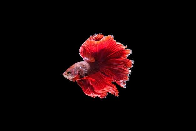 水中で踊る赤いハーフムーンベタの魚、黒い背景で隔離のシャムの戦いの魚。 hdr処理