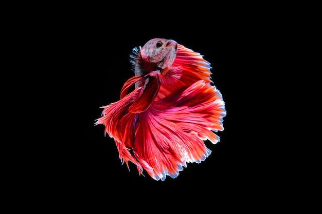 水中で踊る赤いハーフムーンベタの魚、黒い背景で隔離のシャムの戦いの魚