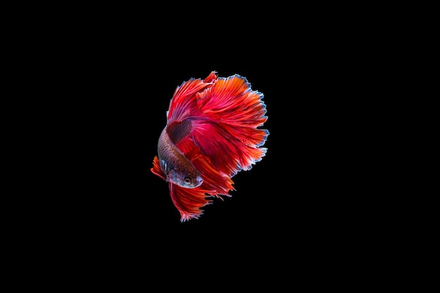 Red halfmoon betta fish dancing in the water, siamese fighting fish isolated on black background. hdr processed