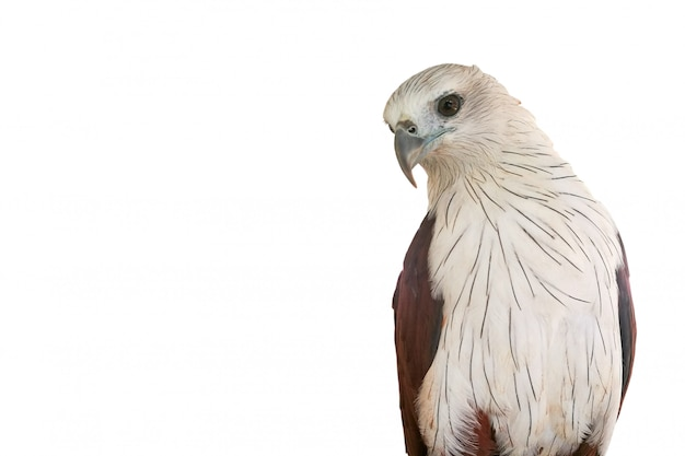 Red hawk is looking at his side.  brahminy kite on the white blackground