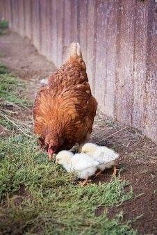 Red hen teaches two of his chickens to look for food in the ground in the village