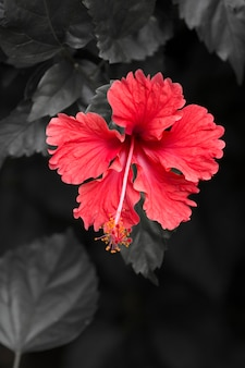 Red hibiscus flower abstract