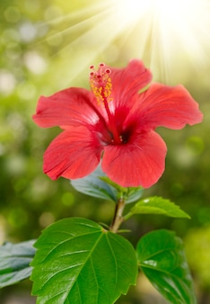 Red hibiscus flower and foliage