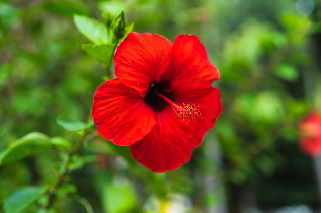 Red hibiscus flower on a green background, selective focus.