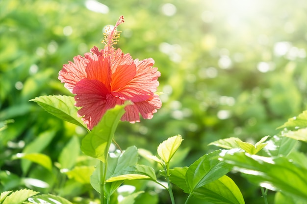 Red hibiscus flower on a green blurred background with sun light