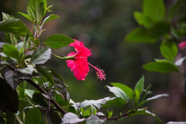 緑の背景に赤いハイビスカスの花トロピカルガーデンで