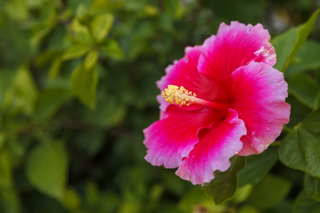 Red hibiscus flower on tropical garden