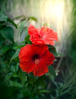 Red hibiscus flowers in blurred background