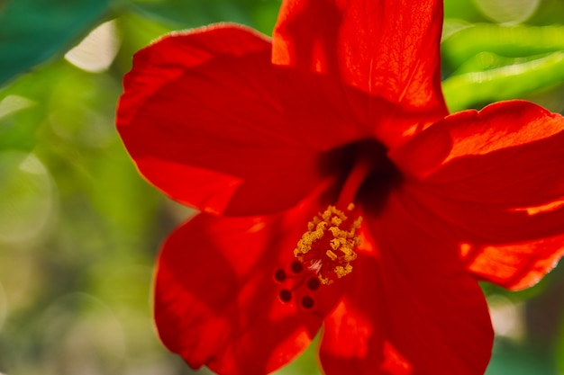 Red hibiscus flowers china rose, chinese hibiscus, hawaiian hibiscus in tropical garden