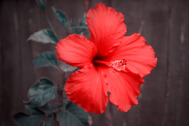 Красные цветы гибискуса (китайская роза, китайский гибискус) в тропическом саду крупным планом макроса весной. цветочный фон. выборочный фокус