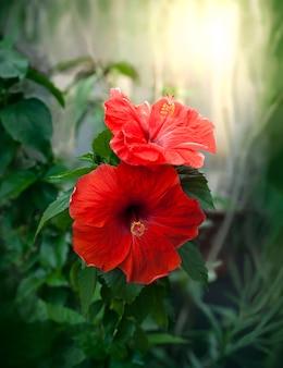 背景をぼかした写真の赤いハイビスカスの花