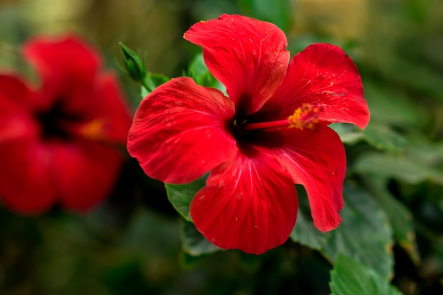 Red hibiscus (karkade) plant in the garden. flora concept
