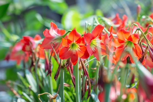 Red hippeastrum flower or red amaryllis flowers