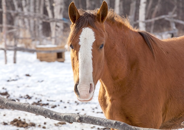 Red horse on a big farm in winter