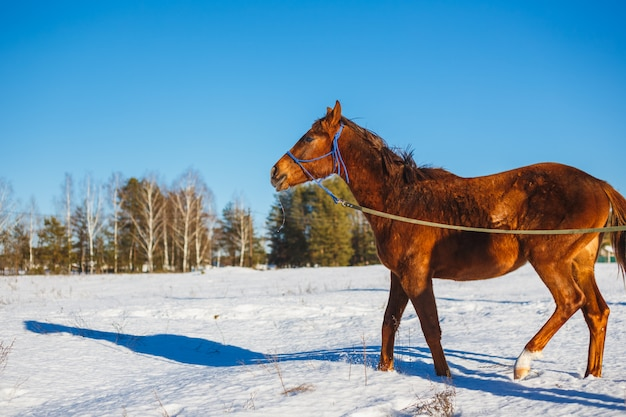 Red horse in a winter snowy field