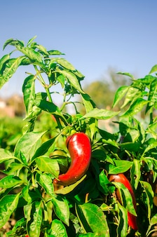 Red hot pepper grows in the field. growing organic vegetables. eco-friendly products. agriculture
