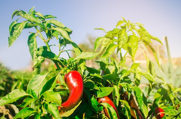 Red hot pepper grows in the field. growing organic vegetables. eco-friendly products.