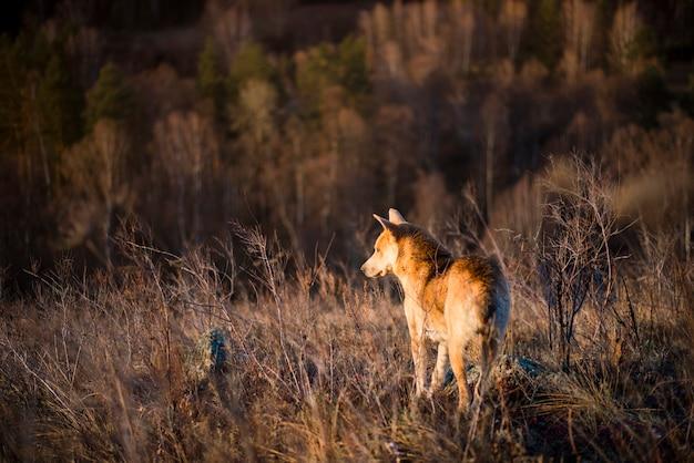 赤い狩猟犬が秋の森の向こうを覗く