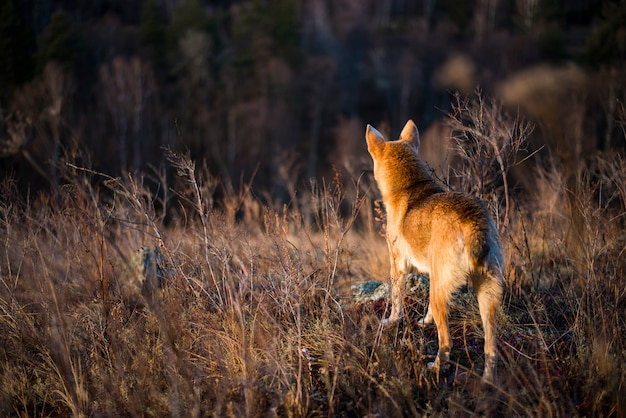 Рыжая охотничья собака смотрит в даль леса осенью