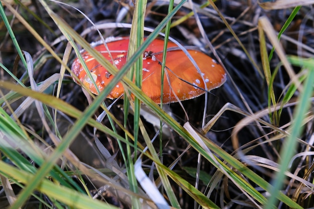 Red inedible toadstool mushroom growing in the forest on a sunny autumn day.