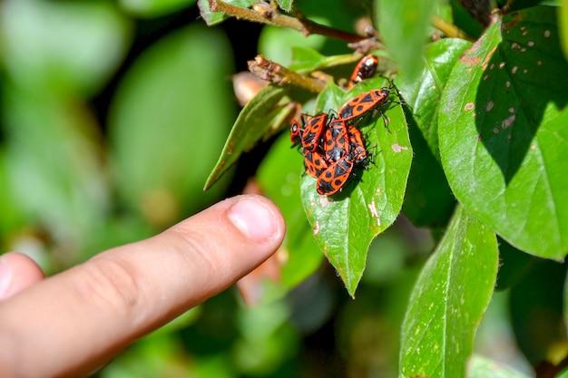 Красные насекомые собрались в кучу на листе дерева