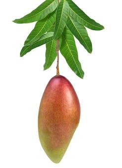 Плоды манго красного цвета слоновой кости на связке манго изолированного на белой предпосылке, плодоовощ манго с оранжевыми листьями с путем клиппирования.