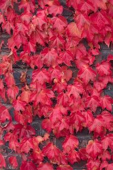 Красные листья плюща, восхождение на фоне стены