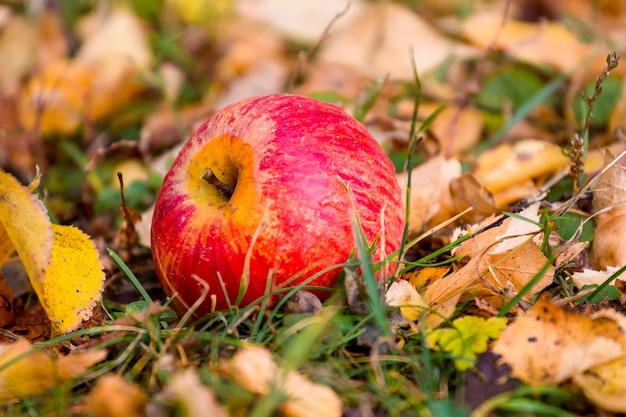Red juicy apple on the grass among the dry autumn leaves
