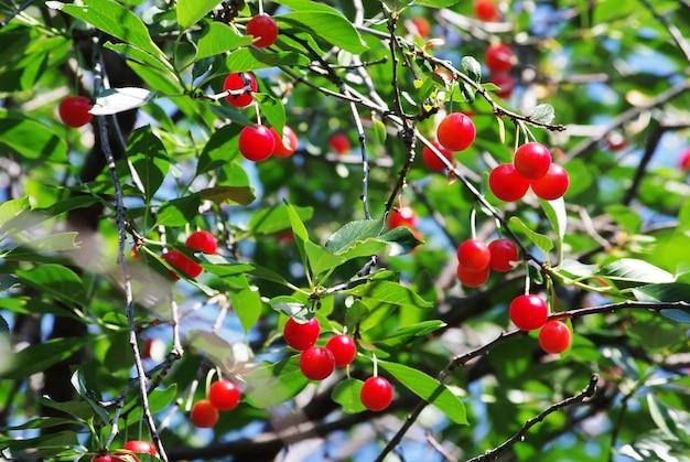 Красные сочные вишни на ветвях в зеленом саду