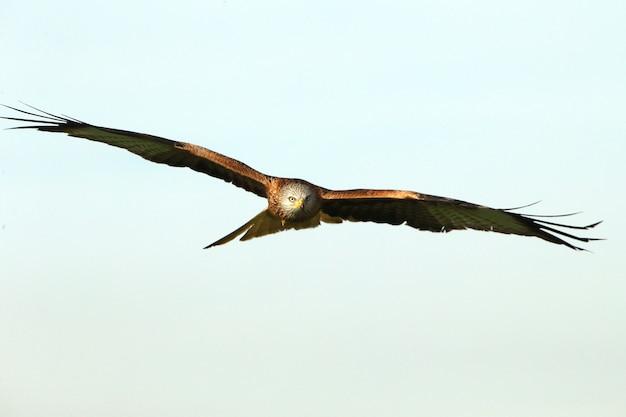 寒い冬の朝に日の最初の光で飛んでいるアカトビ