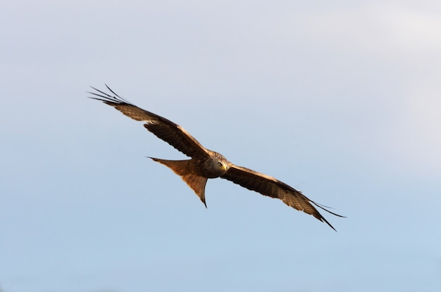 Red kite with flying with the first lights of day