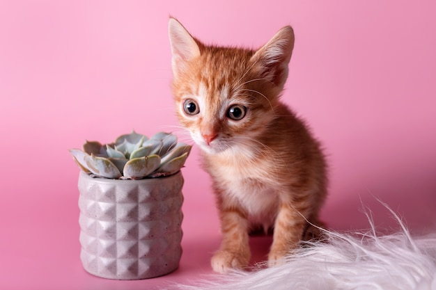 Red kitten sitting near cactus. cute ginger small cat and succulent in grey clay pot on pink surface. pets and plants, discovering the world concept.