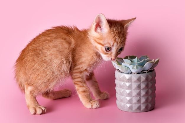 Красный котенок нюхает кактус. милый рыжий котенок нюхает суккулент в сером глиняном горшочке на розовой поверхности. животные и растения, открывая для себя мироздание.