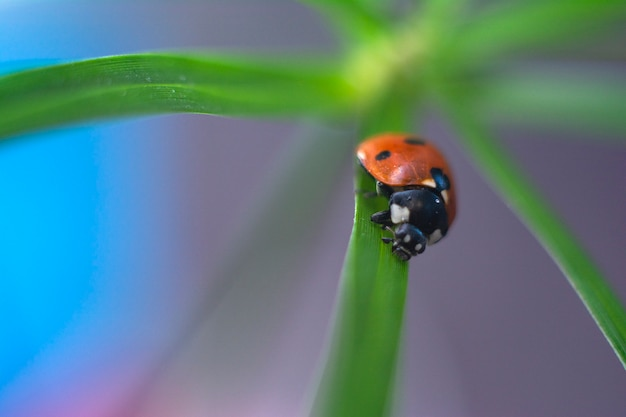 Red ladybug on fresh green grass, bright summer nature.