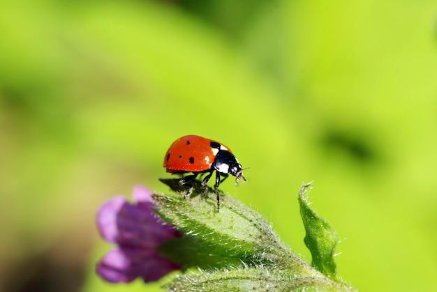 緑に分離された緑の草の上の赤いてんとう虫