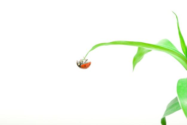 白で隔離される緑の草の上の赤いてんとう虫