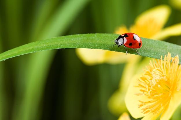 緑の草の上の赤いてんとう虫。