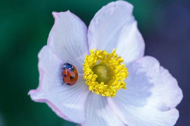 화창한 여름 날에 흰색 곰 끌 꽃잎에 앉아 빨간 무당 벌레.