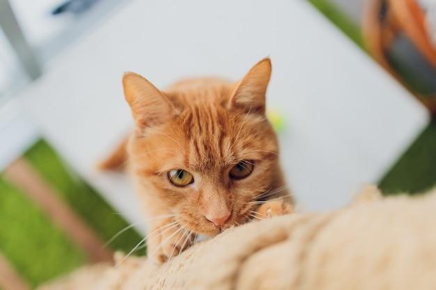 大きな目を持つ赤い怠惰な猫。かわいいふわふわ猫。