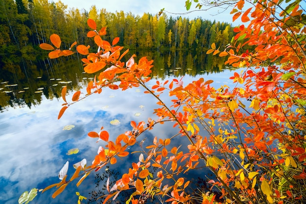 Red leaves of black chokeberry. autumn landscape .