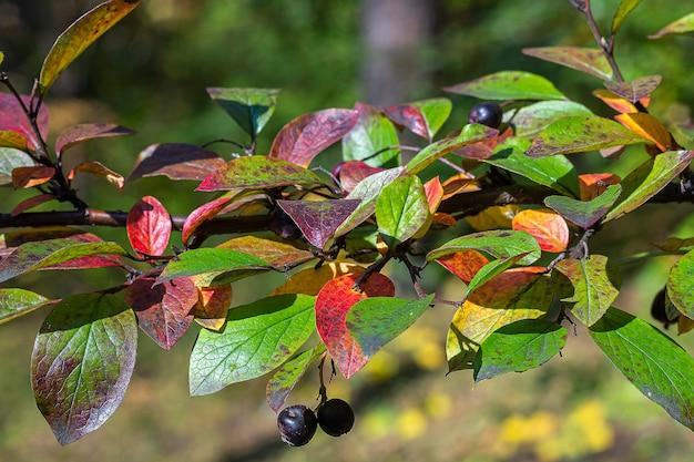 赤い葉がクローズアップ色とりどりの葉コトネアスターlucidus