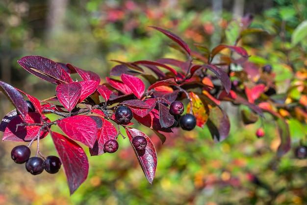 赤い葉色とりどりの葉コトネアスターlucidus