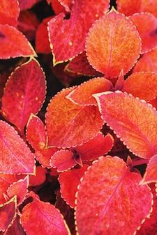 Красные листья крупного плана садовых растений как фон. вид сверху