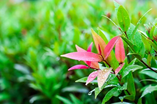 クリスティーナの紅葉は数日雨が降った後に生まれました