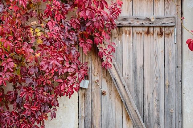 古い納屋の壁にある乙女のブドウの赤い葉、鍵付きの木製のドア。コピースペースと秋の背景。