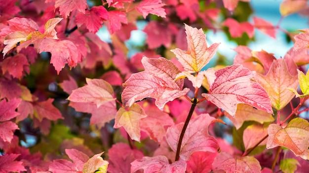 Красные листья калины на кусте осенью