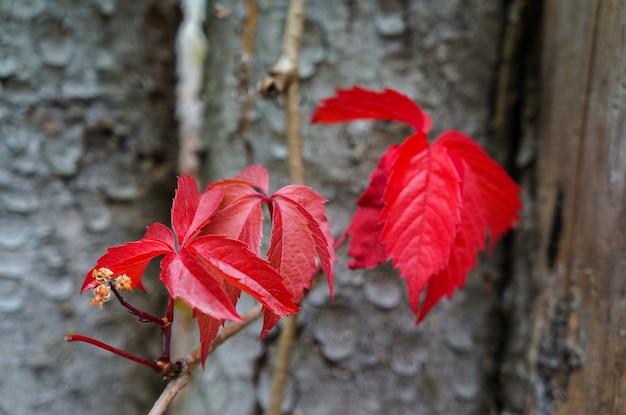 秋の野生ブドウの紅葉